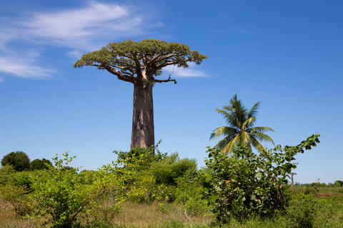 A particularly large baobab tree in the vastness of the island o Fotografía