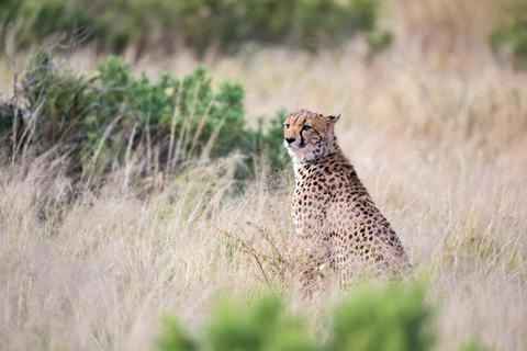 A cheetah sits in the savannah looking for prey Fotografía