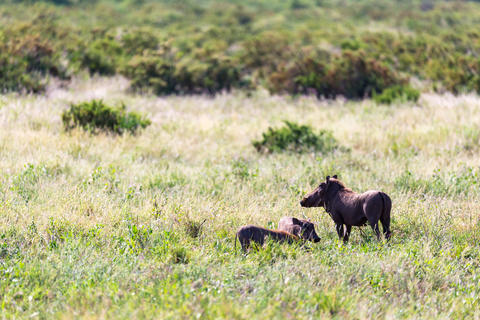 A family of warthogs in the grass of the Kenyan savannah Fotografía