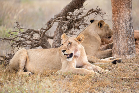 Two lions rest in the shade of a tree Fotografía