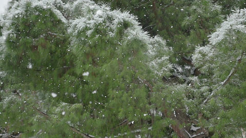 detail of a pine under a snowstorm in winter Footage