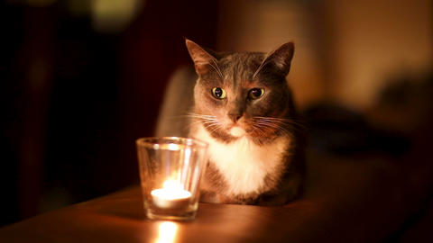 Young beautiful gray cat near burning candle in darkness. Home cosy concept Live Action