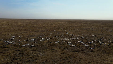 flock of cranes flying. flock of migratory bird fly over steppes to China. 4k Live Action