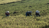 Laborers Work At A Rice Field In Rural Vietnam stock footage