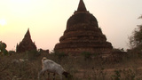 A Herd Of Goats Walk Pass Ancient Stone Temples At Day In Myanmar stock footage
