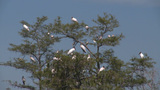 A Group Of Egrets And Herons Rest In A Cypress Tree In The Florida Everglades stock footage