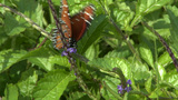 Butterfly In The Florida Keys stock footage