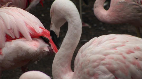 A flamingo scratches itself Stock Video Footage