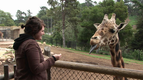 A woman feeds a giraffe Stock Video Footage