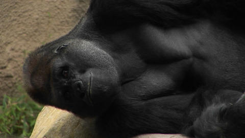 A gorilla lies on its side Stock Video Footage