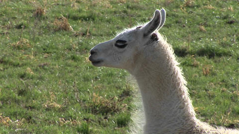 A white llama stands in a breeze at day Stock Video Footage