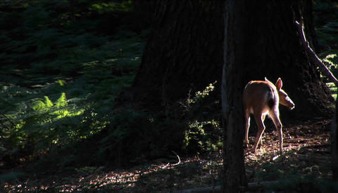 A fawn stands near a tall tree in the forest Stock Video Footage
