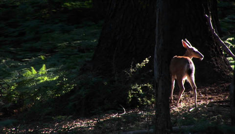 A fawn stands near a tall tree in the forest Footage