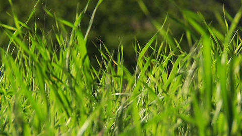 Blades of grass waving in a breeze Stock Video Footage
