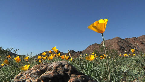 California poppies waving in a breeze Footage