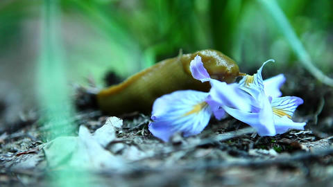 A banana slug eats a flower Footage