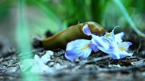 A banana slug eats a flower Stock Video Footage