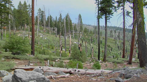 A forest is barren after a devastating forest fire in Yosemite National Park Footage