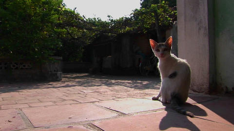 A cat stops for a scratch Stock Video Footage