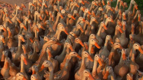 Hundreds of ducks are herded by a Vietnamese farmer Stock Video Footage