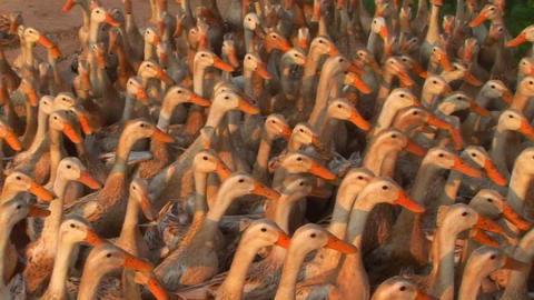 Hundreds of ducks are herded by a Vietnamese farmer Footage