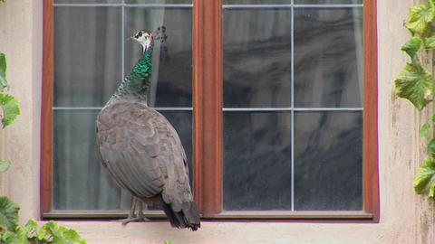 A peacock stands on a windowsill trying to get into the... Stock Video Footage