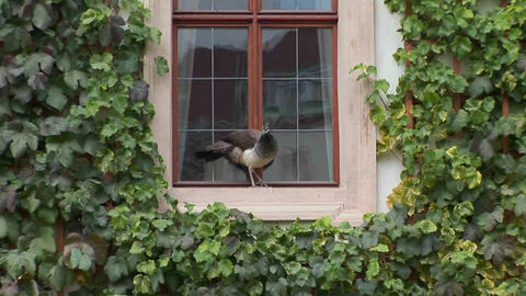 A peacock stands on a windowsill trying to get into the house Footage