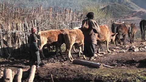 A Family Of Shepherds Lead Their Cattle Across A Rural Area In China stock footage