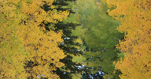 Beautiful Autumn colors yellow Aspen forest close fast DCI 4K 497 Footage