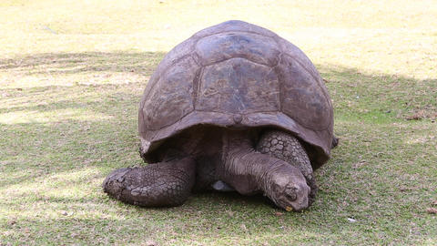 Giant tortoise Live Action