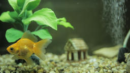Goldfish in an aquarium Footage