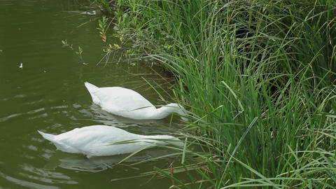 swans feeding in a pond Footage