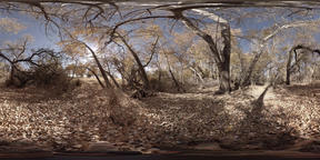 Stand of old growth trees in the late fall VR 360° 動画