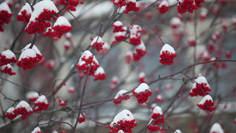 bunches of red mountain ash covered with snow Footage