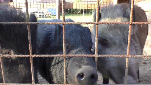 Three young dirty pigs behind the metal fence and shed Footage