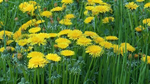 Blooming dandelions (Taraxacum officinale) healing herbs in the grass on shady p Footage