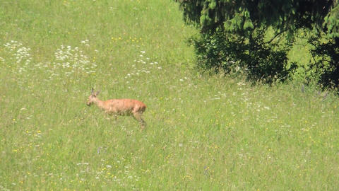 Little doe is leaving grassy meadow in the summer Footage