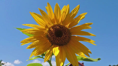Common sunflower - Helianthus annuus with blue sky in the background Footage