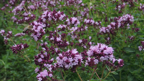 Pink flowers of blooming oregano - Origanum vulgare in the garden Footage