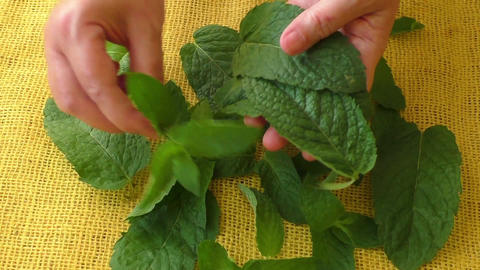 Culinary aromatic herbs. Closeup fresh peppermint leaves Live Action