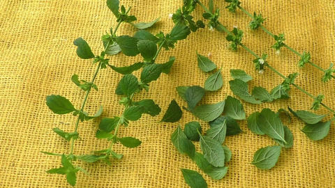 Culinary aromatic herbs. Melissa leaves on a yellow background Live Action