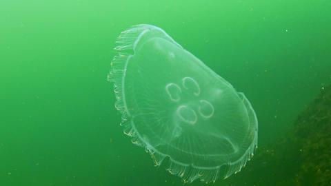 Black Sea fauna. Aurelia aurita (moon jelly, moon jellyfish, common jellyfish, or saucer jelly) Live Action