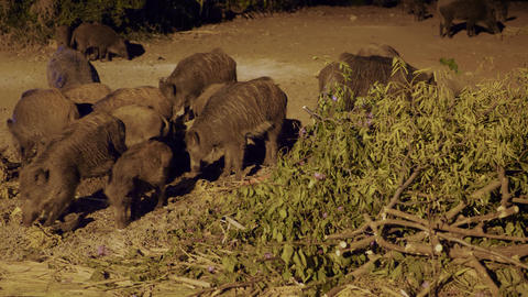 A herd of wild boars Live Action