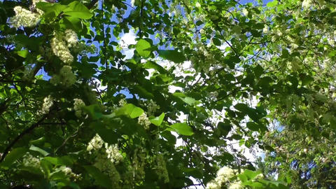 White flowering shrub in the spring Footage