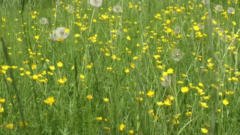 Yellow buttercup flowers in meadow and summer day Footage