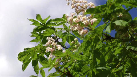 Blossoming chestnut tree in spring Footage
