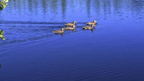 Duck family on deep blue lake on a sunny day Footage