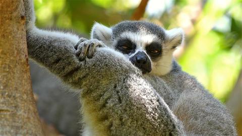 Lemur Portrait On Madagascar Island Footage