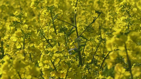 Rapeseed field, Blooming canola flowers close up. Rape on the field in summer Live Action