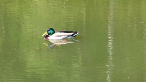 Mallard duck male swimming in a pond Image